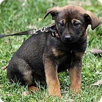 Adopt A Pet :: Levi - Windham, NH