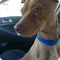 Adopt A Pet :: Liam - Encino, CA