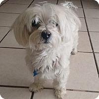 Adopt A Pet :: Spanky - San Diego, CA