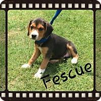 Adopt A Pet :: Fescue (Pom dc) - Washington, DC