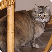 Maine Coon Cat for adoption in Salem, Oregon - Sasha