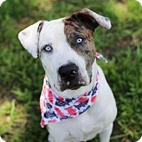 Catahoula Leopard Dog Mix Dog for adoption in Lakeland, Florida - Jack