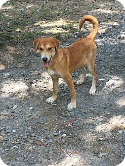 Australian Shepherd/Labrador Retriever Mix Puppy for adoption in Cranford, New Jersey - Taya