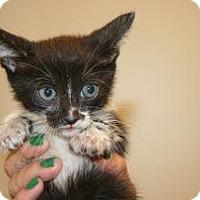 Domestic Mediumhair Kitten for adoption in Wildomar, California - Peach