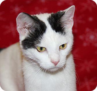 Domestic Shorthair Cat for adoption in Marietta, Ohio - Sugar (Spayed)