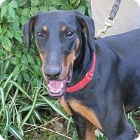 Doberman Pinscher Dog for adoption in Tracy, California - Jodie