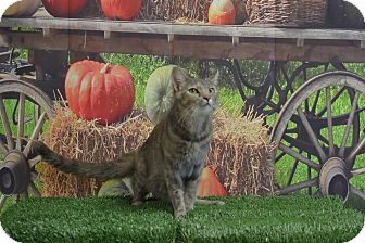 American Shorthair Cat for adoption in Lebanon, Missouri - Jade
