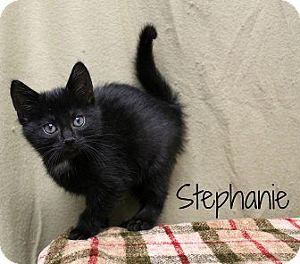 Domestic Shorthair Kitten for adoption in Melbourne, Kentucky - Stephanie