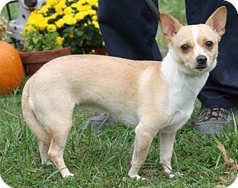 Chihuahua Mix Dog for adoption in Livonia, Michigan - Thalia-ADOPTED