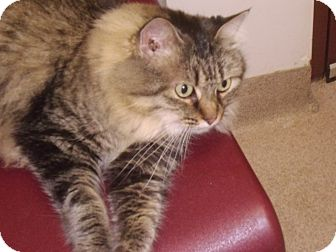 Domestic Longhair Cat for adoption in Muscatine, Iowa - Gorgous