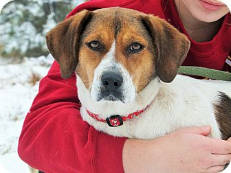 Beagle/Treeing Walker Coonhound Mix Dog for adoption in Lakeville, Minnesota - Ethel