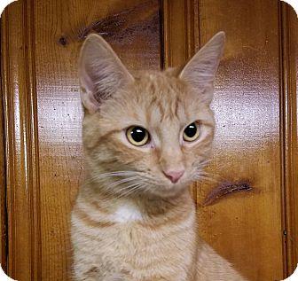 Domestic Shorthair Kitten for adoption in Jeannette, Pennsylvania - Jack