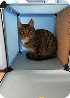 Domestic Shorthair Kitten for adoption in Saginaw, Michigan - Hope
