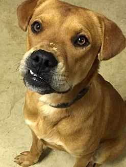 Labrador Retriever Mix Dog for adoption in Holly Springs, Mississippi - Bentley