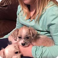 Adopt A Pet :: Lemonade - Brookeville, MD