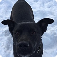 Labrador Retriever Mix Dog for adoption in Livonia, Michigan - Hunter (AK)