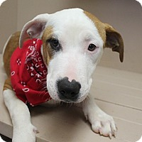 Adopt A Pet :: Sugar - Trenton, NJ