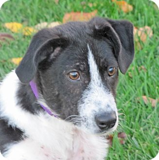 Border Collie Mix Puppy for adoption in Woodstock, Illinois - Scotch