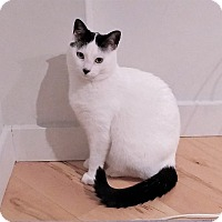 Adopt A Pet :: Ying - Toronto, ON