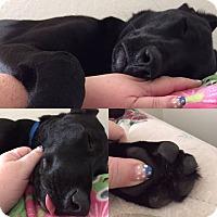 Adopt A Pet :: St. Nicholas - Brattleboro, VT