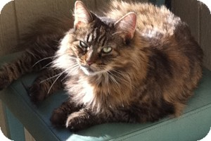 Domestic Longhair Cat for adoption in Topeka, Kansas - Britches