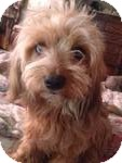 Yorkie, Yorkshire Terrier/Shih Tzu Mix Puppy for adoption in Manchester, Connecticut - maggie  in Ct
