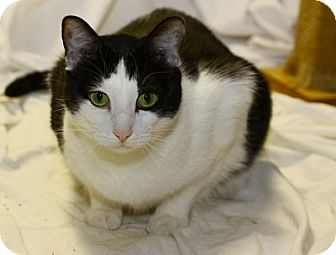 Domestic Shorthair Cat for adoption in Lombard, Illinois - James