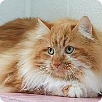 Domestic Longhair Cat for adoption in Anderson, Indiana - Leo