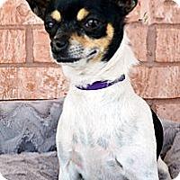 Adopt A Pet :: Tiki - Bridgeton, MO
