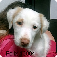 Adopt A Pet :: Felix - baltimore, MD