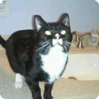 Adopt A Pet :: Mavis(cuddle bug) - Roseville, MN