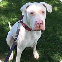 Dogo Argentino Dog for adoption in West Grove, Pennsylvania - Bruno