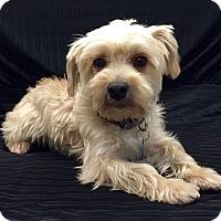 Adopt A Pet :: Sunny - Encino, CA