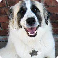 Adopt A Pet :: Sybil - Kyle, TX