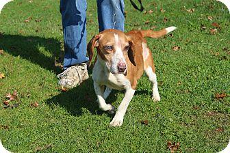 Beagle Dog for adoption in Transfer, Pennsylvania - Nikki II