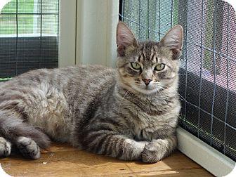 Domestic Mediumhair Cat for adoption in Waller, Texas - Newton