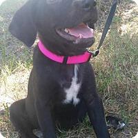 Adopt A Pet :: Lily - Bradenton, FL