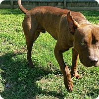 Adopt A Pet :: Pete - Nashville, TN