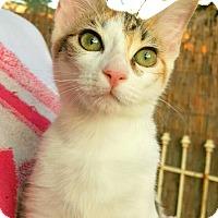 Adopt A Pet :: Dazzle - Scottsdale, AZ
