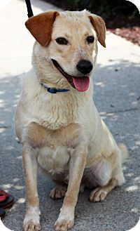 Labrador Retriever Dog for adoption in Christiana, Tennessee - Cheddar