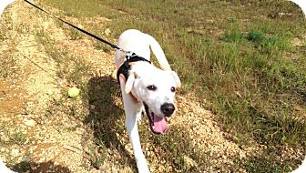 Labrador Retriever Mix Puppy for adoption in Lexington, Tennessee - Andy