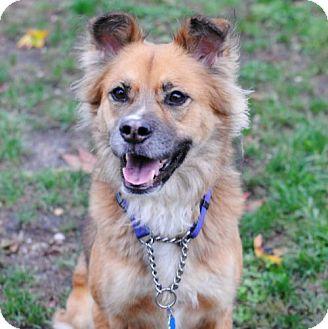 Australian Shepherd/Sheltie, Shetland Sheepdog Mix Dog for adoption in Spring Lake, New Jersey - Snookie