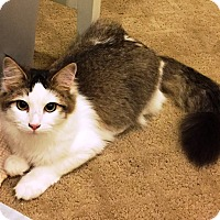 Domestic Mediumhair Cat for adoption in Riverside, California - Jean