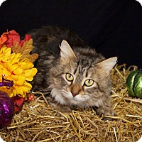 Domestic Mediumhair Cat for adoption in Livonia, Michigan - Nala