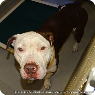 Pit Bull Terrier Mix Dog for adoption in Brooksville, Florida - ANGUS