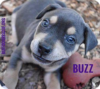 Labrador Retriever/American Bulldog Mix Puppy for adoption in Milton, Georgia - Buzz