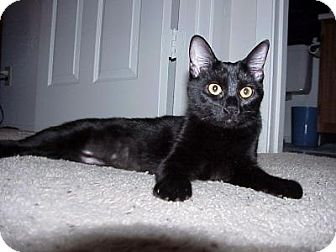 Domestic Shorthair Cat for adoption in East Brunswick, New Jersey - Midnight