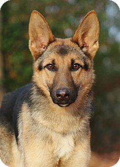 German Shepherd Dog Dog for adoption in Nashville, Tennessee - Oakli