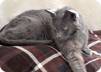 Domestic Shorthair Cat for adoption in Durham, North Carolina - Stormy