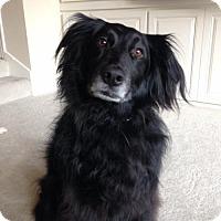 Adopt A Pet :: JEFF (Auburn) loyal smart active boy - Bainbridge Island, WA